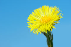 Yellow coltsfoot flower (Tussilago farfara) in early spring on blue sky background. Vivid Stock Images