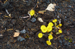 Yellow coltsfoot flowers Stock Photography