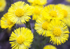 Yellow coltsfoot flowers (Tussilago farfara) Royalty Free Stock Image