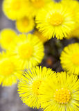 Yellow coltsfoot flowers (Tussilago farfara) Stock Photo