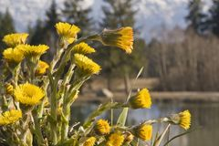 Yellow Coltsfoot in spring time. Coltsfoot from the daisy family is a well-known house and remedy Royalty Free Stock Image