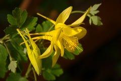 Yellow Columbine Aquilegia coerulea Stock Photo