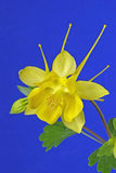 Yellow Columbine on Blue Royalty Free Stock Photo