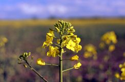 Yellow colza and blue sky Stock Image