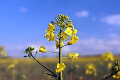 Yellow colza and blue sky Royalty Free Stock Image