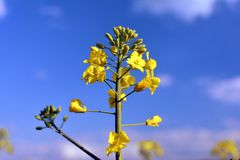 Yellow colza and blue sky Royalty Free Stock Photos