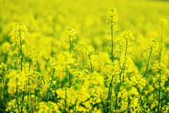 Yellow colza Royalty Free Stock Photography