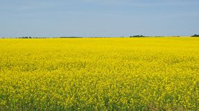 Yellow colza field Royalty Free Stock Image