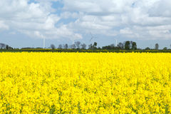 The yellow colza field Stock Image