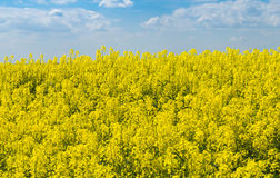 Yellow colza field with gloomy sky Royalty Free Stock Photography