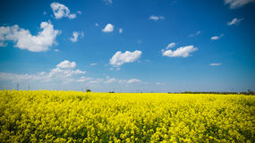 Yellow colza field with gloomy sky Royalty Free Stock Photo