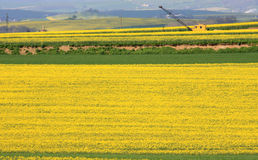 Yellow colza fields and crane in Germany Royalty Free Stock Images
