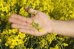 Yellow colza flower field with seeds in the arm Stock Photos