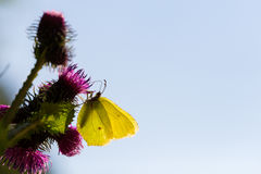 Yellow common brimstone butterfly (Gonepteryx rhamni) in backlig Royalty Free Stock Image