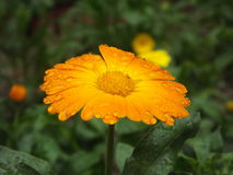 Yellow common marigold. Also called pot marigold, ruddles, common marigold, garden marigold, English marigold, or Scottish marigold. closeup, with green Royalty Free Stock Photos