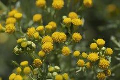 Yellow common tansy Royalty Free Stock Photos