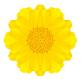 Yellow Concentric Daisy Flower Isolated on White. Mandala Design Royalty Free Stock Photography