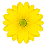 Yellow Concentric Daisy Flower Isolated on White. Mandala Design Stock Photo
