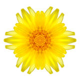 Yellow Concentric Daisy Mandala Flower Isolated on White Stock Photography