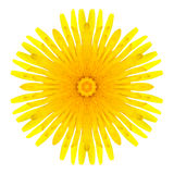 Yellow Concentric Dandelion Flower Isolated on White. Mandala Design. Yellow Concentric Dandelion Flower Isolated on White Background. Kaleidoscopic Mandala Royalty Free Stock Image