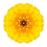 Yellow Concentric Marigold Mandala Flower Isolated on White. Yellow Concentric Marigold Flower Isolated on White Background. Kaleidoscopic Mandala Design Stock Images