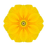 Yellow Concentric Primrose Flower Isolated on White. Mandala Design Stock Photography