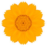 Yellow Concentric Singapore Daisy Flower Isolated on White. Stock Photos