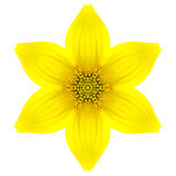 Yellow Concentric Star Flower Isolated on White. Mandala Design Stock Photo