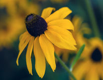 Yellow cone flower on blurred background. Yellow cone flower (rudbeckia) on blurred background Royalty Free Stock Photo