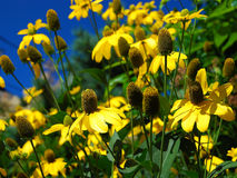 Yellow Cone Flowers. A photo of yellow summer cone flowers in a garden in Provincetown, MA Stock Photos