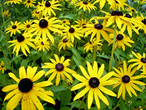 Yellow cone flowers Royalty Free Stock Images