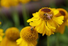 Yellow Cone Flowers with Bee Royalty Free Stock Photos