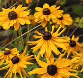 Yellow cone flowers on blurred background Royalty Free Stock Image