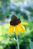 Yellow cone flowers and stem Stock Photography