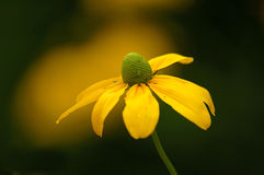 Yellow Coneflower. With blurred background Royalty Free Stock Image