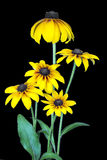 Yellow coneflower on black. Stock Photo