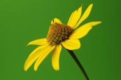 Yellow coneflower Royalty Free Stock Image
