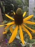 Yellow coneflower Stock Photo