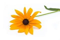 Yellow coneflowers Stock Images