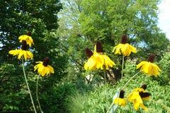 Yellow Coneflowers Royalty Free Stock Photo