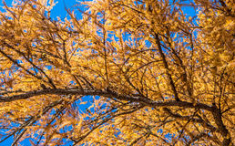 Yellow coniferous tree Royalty Free Stock Images