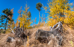 Yellow coniferous trees Stock Photos