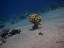 Yellow coral stock photo
