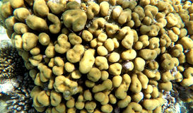 Yellow coral colony in salt water of the Red Sea Royalty Free Stock Photo