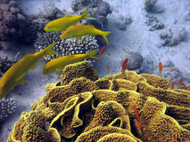 Yellow Coral and fish. Yellowsaddle Goatfish and Yellow Turbinaria royalty free stock photo
