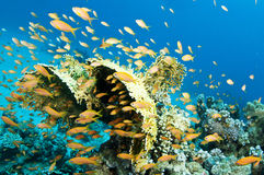 Yellow coral with orange fish Stock Photography