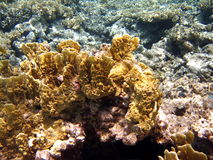 Yellow coral reef Stock Photos