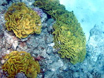 Yellow coral reef Royalty Free Stock Photo