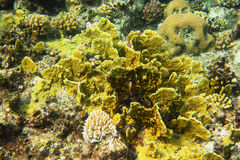 yellow coral in sea stock photos