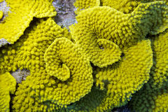Yellow coral turbinaria mesenterina , underwater Royalty Free Stock Photos